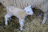 Romshed Farm Lambing Day