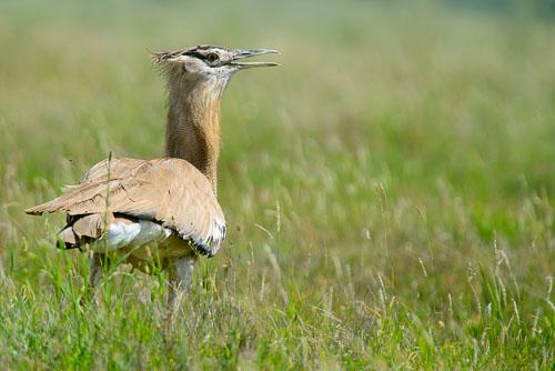 Bustard Bird